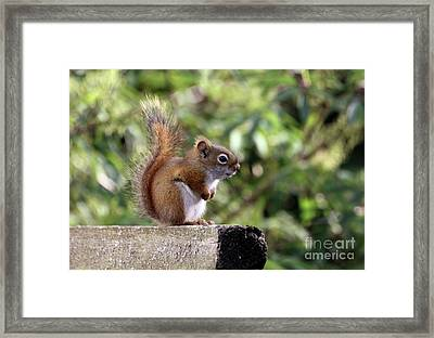 Squirrel On The Edge Framed Print by Marjorie Imbeau