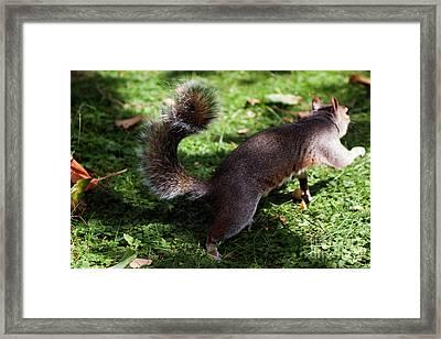 Squirrel Running Framed Print