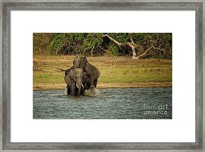 Sri Lankan Elephants  Framed Print by Venura Herath