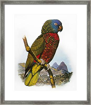 St Lucia Amazon Parrot Framed Print by Granger
