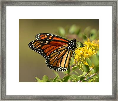 St. Marks Monarch Butterfly Framed Print