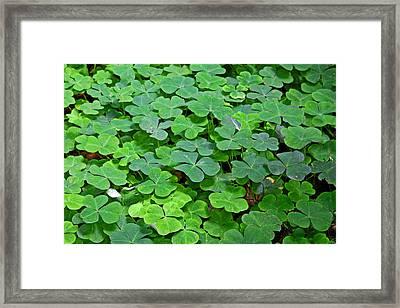 St Patricks Day Shamrocks - First Green Of Spring Framed Print by Christine Till