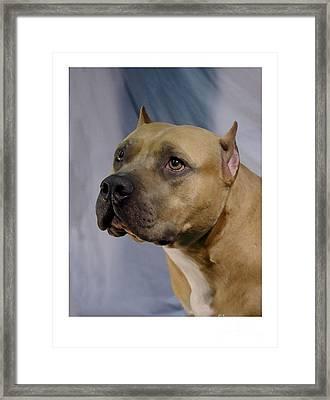 Staffordshire Bull Terrier - Amstaff 198 Framed Print by Larry Matthews