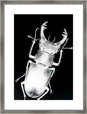 Stag Beetle Framed Print by Gabriela Insuratelu