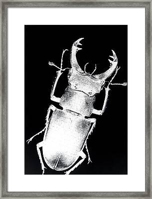 Stag Beetle Framed Print by Gabriela Insuratelu