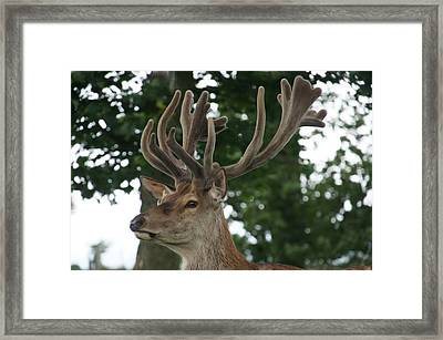 Stag Head. Framed Print