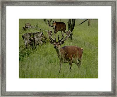 Stag Of The Herd. Framed Print