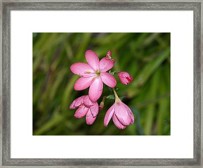 Stages Of A Flower Framed Print by Laura Allenby