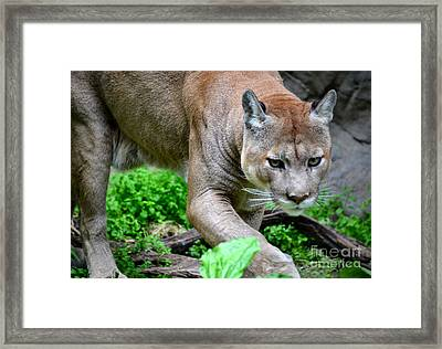 Stalking Framed Print by Deb Halloran
