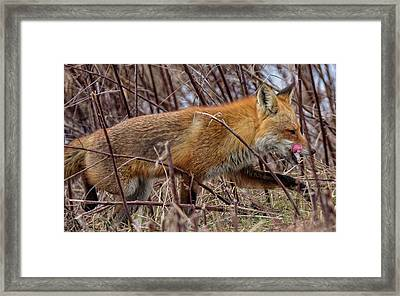 Framed Print featuring the photograph Stalking Fox by Robert Pilkington