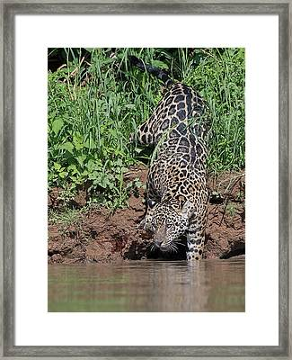 Framed Print featuring the photograph Stalking Jaguar by Wade Aiken