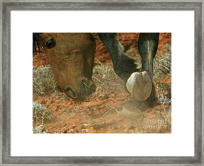 Stallion Scraping The Ground Framed Print by Jean-Louis Klein & Marie-Luce Hubert