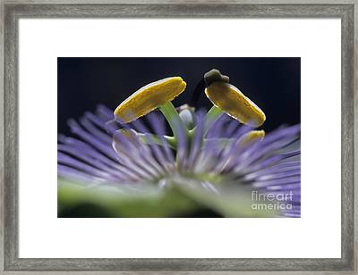 Stamen Of A Passionflower Framed Print by Sami Sarkis