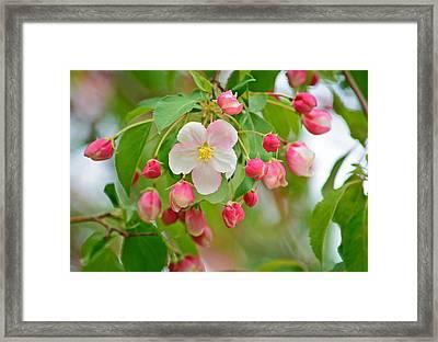 Stand Alone Japanese Cherry Blossom Framed Print
