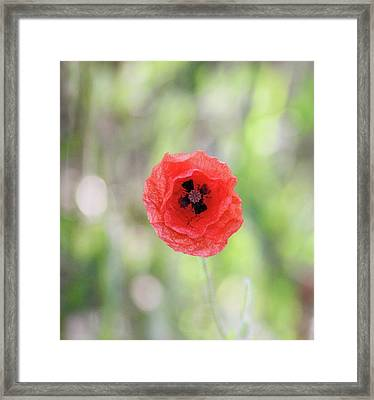 Stand Alone Poppy Framed Print