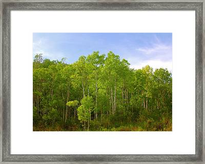 Stand Of Quaking Aspen Trees Framed Print