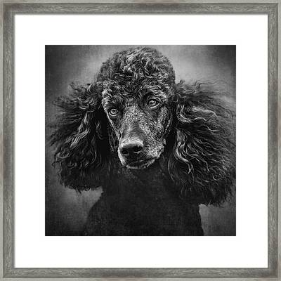 Standard Poodle Portrait 1 Framed Print by Wolf Shadow  Photography