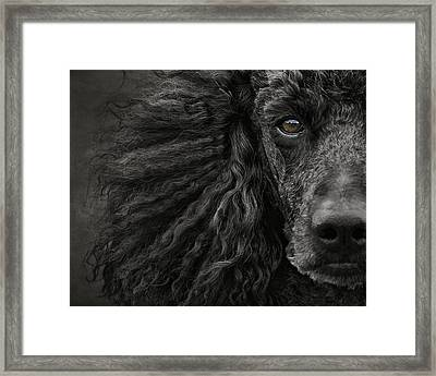 Standard Poodle Portrait Framed Print by Wolf Shadow  Photography