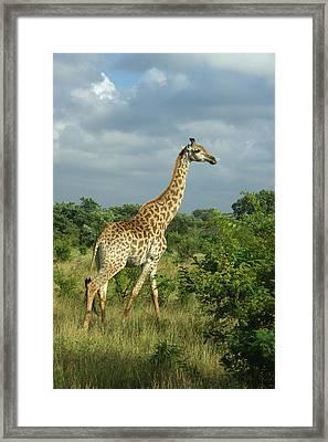 Standing Alone - Giraffe Framed Print