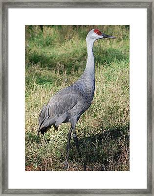 Standing Sandhill Crane Framed Print by Heather Chaput