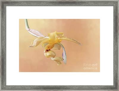 Stanhopea Orchid V2 Framed Print