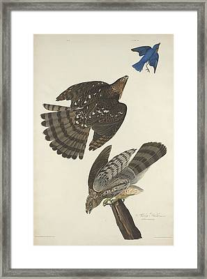 Stanley Hawk Framed Print by Rob Dreyer