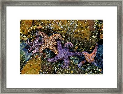 Star Family Framed Print by Kevin Bergen