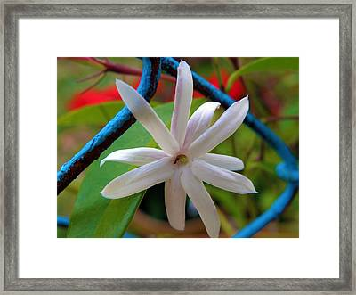 Star Jasmine Flower Framed Print