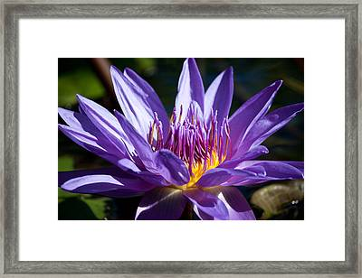 Star Lotus Soaks Up The Sun Framed Print by J Mattson