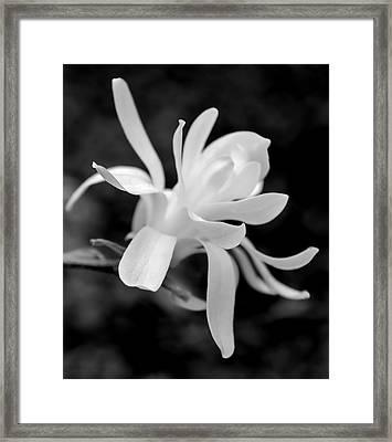 Star Magnolia Flower Black And White Framed Print