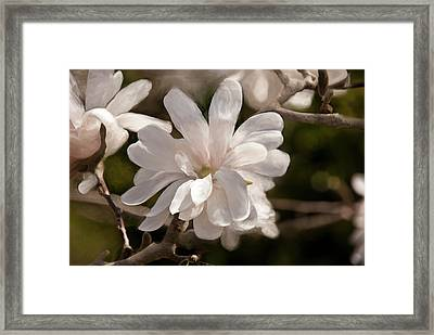 Star Magnolia Painting Framed Print by Don  Wright