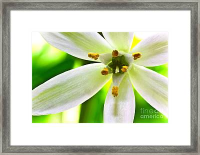 Star Of Bethlehem Grass Lily Framed Print by Ryan Kelly
