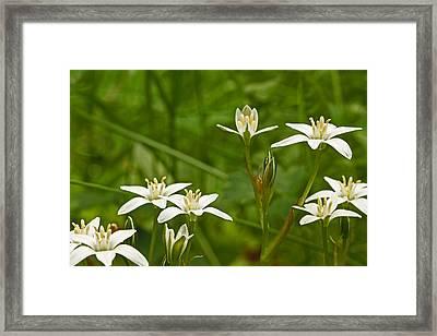 Star Of Bethlehem Wildflower - Grass Lily - Ornithogalum Umbellatum Framed Print by Mother Nature