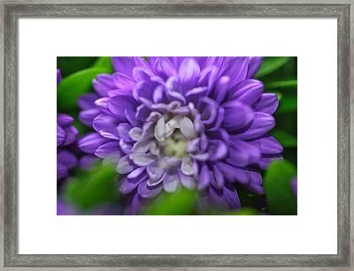 Star Shaped Purple Aster Framed Print by Jenny Rainbow