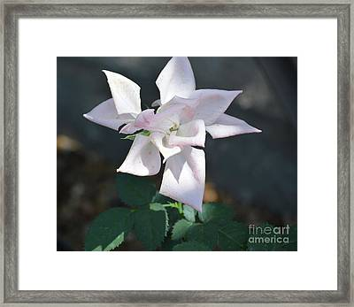 Star Shaped Rose  Framed Print by Ruth Housley