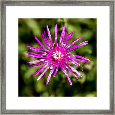 Starburst Of The Wildflowers Framed Print by John Haldane