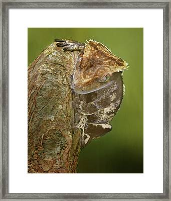 Stare Down - Crested Gecko Framed Print
