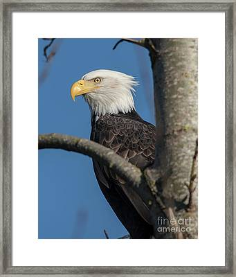 Staredown By Eagle  Framed Print
