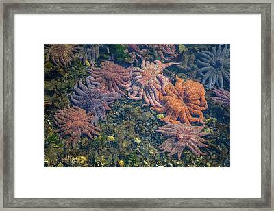 Starfish Framed Print by Wild Montana Images