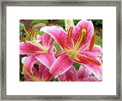 Stargazer Lilies At Their Best Framed Print by Randy Rosenberger