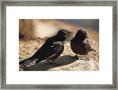 Starling Discussion. Framed Print