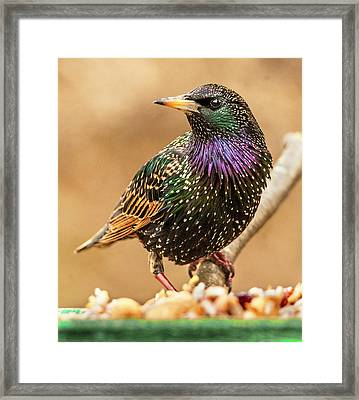 Starling In Glorious Color Framed Print