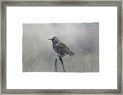 Starling In Winter Framed Print