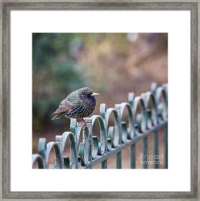 Starling Juvenile Male Framed Print