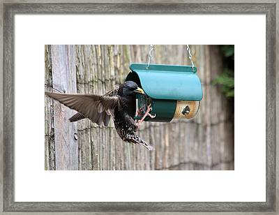Starling On Bird Feeder Framed Print by Gordon Auld