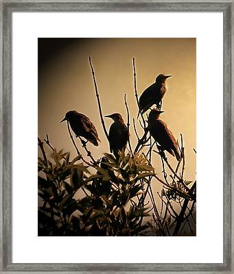 Starlings Framed Print by Sharon Lisa Clarke