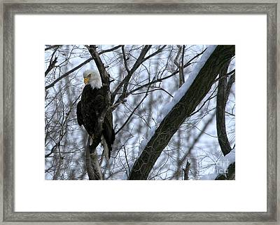 Framed Print featuring the photograph Starved Rock Eagle by Paula Guttilla