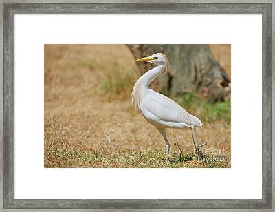 Framed Print featuring the photograph Stately Walking Cattle Egret by Nick Biemans