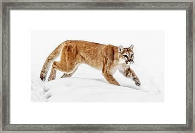 Stealth In The Snow Framed Print by Wes and Dotty Weber