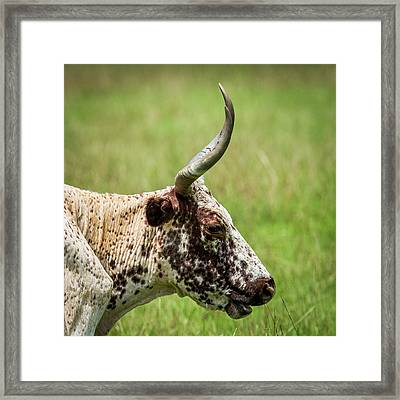 Framed Print featuring the photograph Steer Portrait by Paul Freidlund